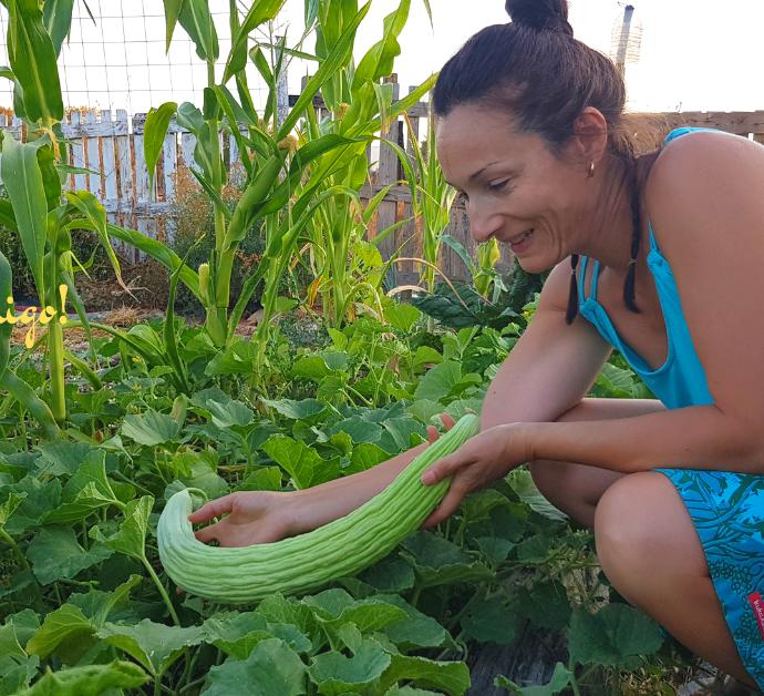 Como cultivar alficoz o pepino melón