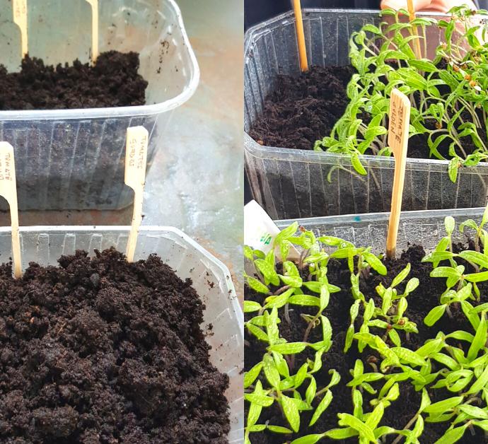 Como y cuando sembrar tomates